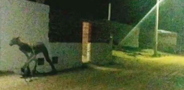 Жуткий получеловек-полупёс, который задрал и съел двух собак, попал на камеру (ВИДЕО)