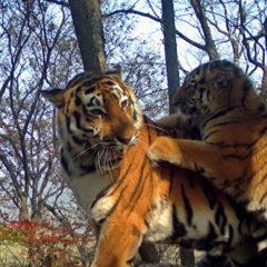 Популяция тигра в приморском нацпарке «Земля леопарда» достигла максимума