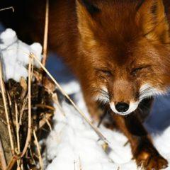 Кобылкин назвал причину появления лисиц за полярным кругом