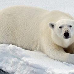 В Якутии начали усиленно размножаться белые медведи, отмечают ученые