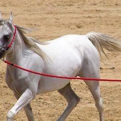Сирийский путешественник едет в Москву, чтобы подарить Путину коня