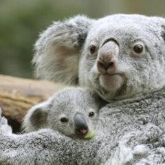 На помощь пострадавшим в Австралии коалам собрали более 640 тысяч долларов